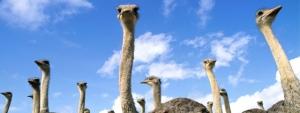 struisvogels
