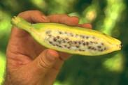 Kunstmatig GMO banaan